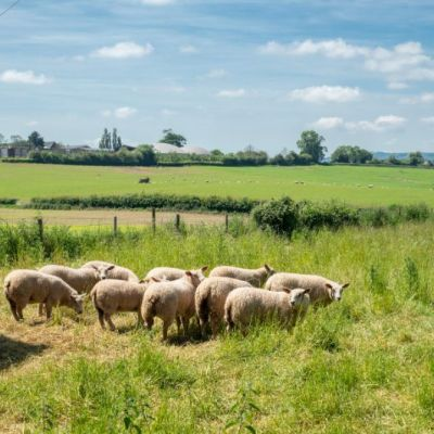 Sheep in the paddock at the end of the garden